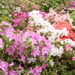 Much bright flowers on bush — Stock Photo