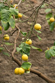 Citrus fruit on plant — Stock Photo