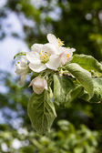 The branch of a blossoming apple tree with green leaves — Стоковое фото