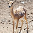 Stock Photo: Gazelle
