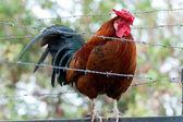 Prisoner cock — Stock Photo