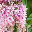 Pink orchind — Stock Photo #9100712