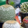 CHIANG MAI, THAILAND - FEBRUARY 4: First place in cactus competi - Stock Photo