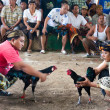 CockFighting - Foto de Stock