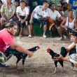 CockFighting - Stock Photo