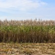 Sugar cane fields — Stock Photo