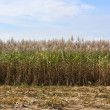 Sugar cane fields — Stock Photo #8340228