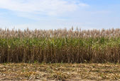 Sugar cane fields — Stock Photo