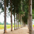 Pathway to Tunnel of Pine Trees — Stock Photo