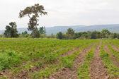 Cassava plantation — Stock Photo