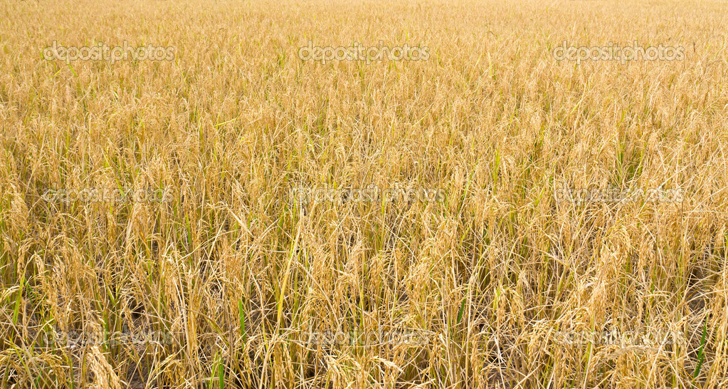 Golden rice field ready for harvest.  Stock Photo #8953680