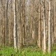 Teak trees — Stock Photo #9041903