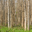 Stock Photo: Teak trees