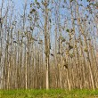 Stock Photo: Teak forest