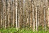 Teak trees — Stock Photo