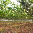 Rubber tree field - Stock Photo