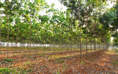 Rubber tree field — Stock Photo