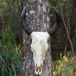 Skull buffalo — Stock Photo