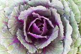 Closeup Fresh Cabbage — Stock Photo