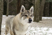 Czechoslovakian Wolfdog — Stock Photo