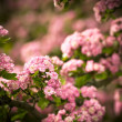 Pink flowers — Stock Photo #10581593