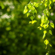 Young spring leaves — Stock Photo