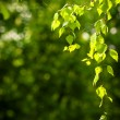 Stock Photo: Young spring leaves