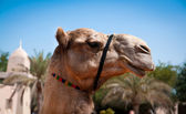 Head of a camel — Stock Photo