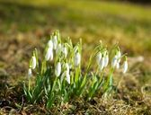 Group of snowdrops — Stock Photo