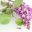 Syringa — Stock Photo #8815388