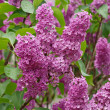 Syringa — Stock Photo #8815396