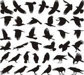 Bird carrion crow — Stock Vector