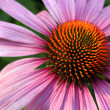 Coneflower closeup — Stock Photo