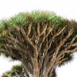 Dragon tree on white — Stock Photo