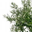 Young olive tree branch — Stock Photo
