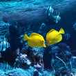 Two yellow tropical fishes — 图库照片