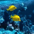 Two yellow tropical fishes — Stock Photo