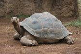 Giant turtle — Stock Photo