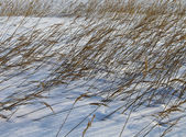 Reeds in winter snow — Stock Photo