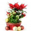 Red Christmas flower - Stock Photo