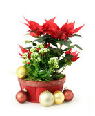 Red Christmas flower — Stock Photo