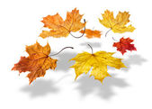 Colorful autumn maple leaves falling on white background — Stock Photo