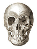 Skull illustration — Stock Photo