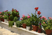Red flowers blue wall — Stock Photo