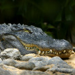 Alligator smile - Stock Photo
