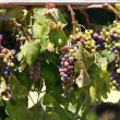 Colorful wine grapes - Stock Photo