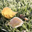 First morning frosty leaves — Stock Photo