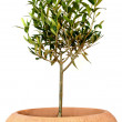Young olive tree in pot — Stock Photo #9388637