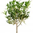 Young olive tree — Stock Photo #9388638