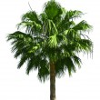 Royalty-Free Stock Photo: Palm tree isolated